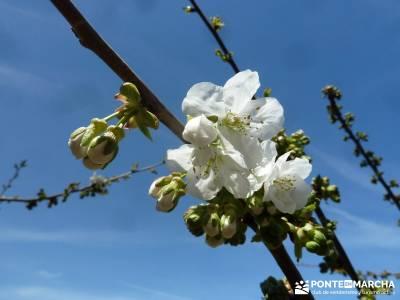 Cerezos en flor en el Valle del Jerte - Prunus Avium;senderismo grupo pequeño